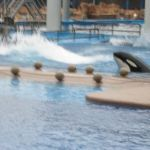 Sea World Orlando - Shamu - 002