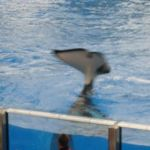 Sea World Orlando - Shamu - 007