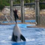 Sea World Orlando - Shamu - 021